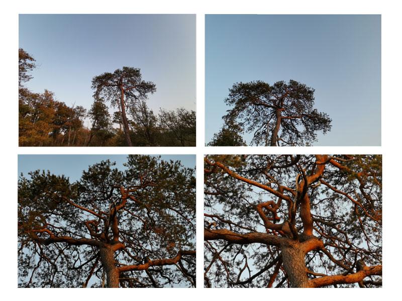 Un arbre de la forêt de Fontainebleau, au photographié au zoom 0,6 X, 1 X, 3 X et 5 X avec le Huawei Mate20 Pro, 10 2018, Ph. Moctar KANE.